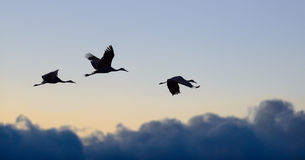 Flying cranes Royalty Free Stock Images