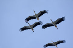 Flying of cranes. On background of blue sky Stock Photo