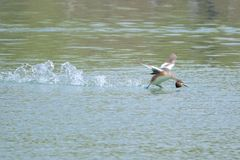 Flying Crested Grebe Stock Image