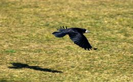 Flying Crow. A black crow flying low level over a meadow, the shadow is seen on the ground stock images