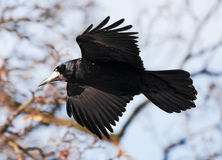 Flying Crow Stock Photography