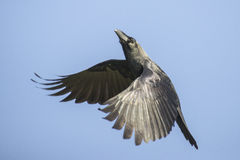 Flying crow. A crow flying in the autumn blue sky Royalty Free Stock Image