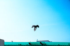 A flying crow. Royalty Free Stock Photography