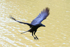Flying crow floating on air Royalty Free Stock Photography