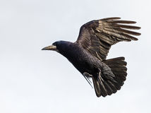 Flying crow. Photo of black crow flying with spread wings royalty free stock photos