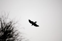 Flying Crow Silhouette. From below Royalty Free Stock Image