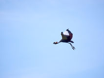 Flying crowned crane. One crowned crane flying with a blue sky in the background royalty free stock photography