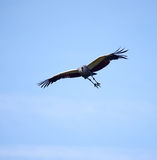 Flying crowned crane. One crowned crane flying with a blue sky in the background Stock Photos