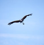 Flying crowned crane Stock Photos