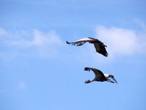 Flying crowned cranes. Two crowned cranes flying with a blue sky in the background Stock Photography