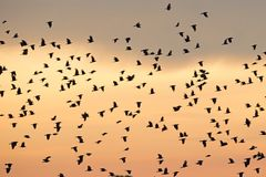 Flying crows against the background of sunset sky Stock Photography