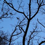 Flying crows and branches silhouetted by moonlight stock photography