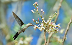 Flying Cuban Bee Hummingbird (Mellisuga helenae) Royalty Free Stock Image