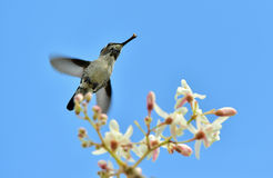Flying Cuban Bee Hummingbird (Mellisuga helenae) Stock Photo