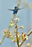 Flying Cuban Bee Hummingbird (Mellisuga helenae) Royalty Free Stock Photos