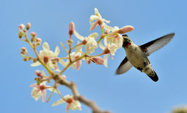 Flying Cuban Bee Hummingbird (Mellisuga helenae) Stock Photography
