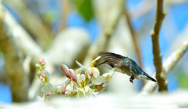 Flying Cuban Bee Hummingbird (Mellisuga helenae) Stock Image