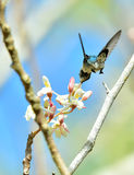 Flying Cuban Bee Hummingbird (Mellisuga helenae) Stock Photos