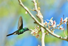 Flying Cuban Emerald Hummingbird (Chlorostilbon Ricordii) Stock Photo