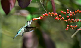 Flying Cuban Emerald Hummingbird (Chlorostilbon ricordii) Royalty Free Stock Photography