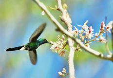 Flying Cuban Emerald Hummingbird (Chlorostilbon ricordii) Royalty Free Stock Photo