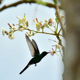 Flying Cuban Emerald Hummingbird (Chlorostilbon ricordii) Royalty Free Stock Images