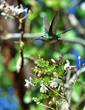 Flying Cuban Emerald Hummingbird (Chlorostilbon ricordii) Stock Image