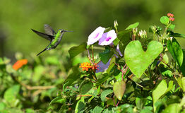 Flying Cuban Emerald Hummingbird (Chlorostilbon ricordii) Stock Photos
