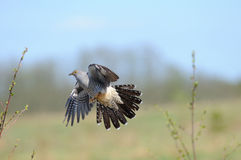 Flying Cuckoo in spring Royalty Free Stock Image