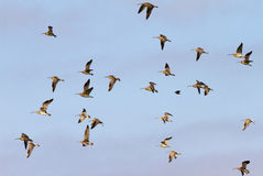 Flying Curlews Stock Photography