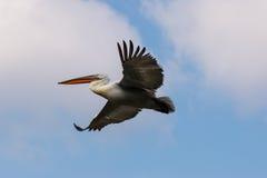 Flying dalmatian pelican Stock Image
