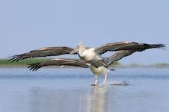 Flying Dalmatian Pelicans Stock Photos