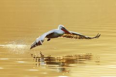 Mirror on surface. Flying dalmatians pelican over the surface lake in evening sunset Stock Photo
