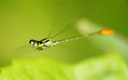 A flying Damselfly Stock Photos