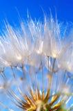 Flying dandelion. Dandelion detail isolated on blue background stock photo