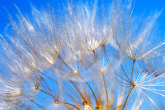 Flying dandelion. Dandelion detail isolated on blue background stock images