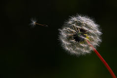 Flying Dandelion. One of seeds is flying Stock Image