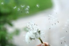 Flying Dandelion. Young teenager blowing a dandelion. Make a wish stock image