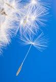 Flying dandelion Royalty Free Stock Photo
