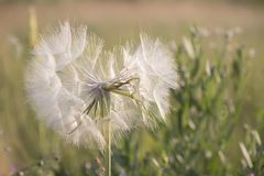 Flying dandelion, in the form of a heart in a meadow royalty free stock images