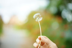 Flying dandelion with hand Royalty Free Stock Image