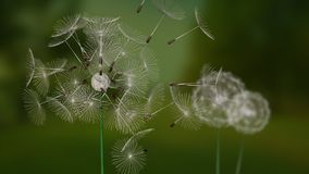 A flying dandelion pieces with depth of field. On a blury dark green forest vector illustration
