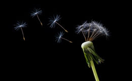 Blowing dandelion seeds. Tiny dandelion seeds blowing off and flying in the wind Stock Images