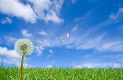 Flying Dandelion Seeds  Royalty Free Stock Photos
