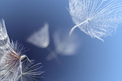 Flying dandelion seeds. On a blue background royalty free stock photo