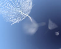 Flying dandelion seeds Stock Images