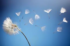 Flying dandelion seeds. On a blue background Stock Image