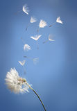 Flying dandelion seeds on a blue Stock Image