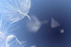 Flying dandelion seeds on  blue background Stock Photos