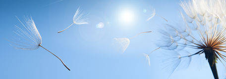 Flying dandelion seeds on a blue background.  royalty free stock photo